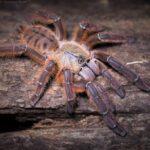 """Phormingochilus sp. """"rufus"""""""