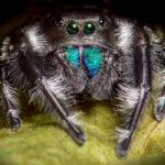 Phidippus regius (Regal Jumping Spider)