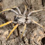 Hogna schmitzi (Porto Santo Wolf Spider)