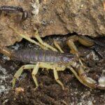 Nebo whitei (White's Nebo Scorpion)