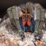 Piloctenus haematostoma (Guinean Wandering Spider)