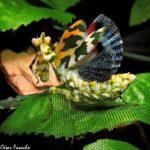 Callibia diana (Amazonian Flower Mantis)