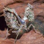 Pseudoacanthops lovipez (Peruvian Thistle Mantis)