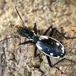 Anthia sexguttata (Egyptian Predator Beetle)