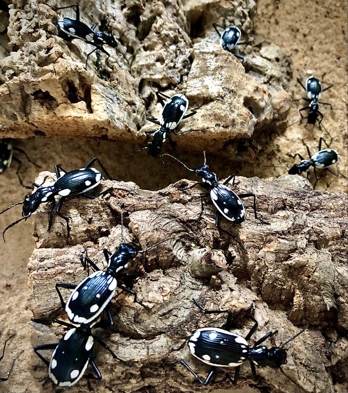Anthia sexmaculata (Egyptian Predator Beetle)