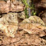 Brancsikia aeroplana (Madagascan Dead Leaf)