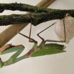 """Hierodula sp """"Papua"""" (Giant Asian Mantis)"""